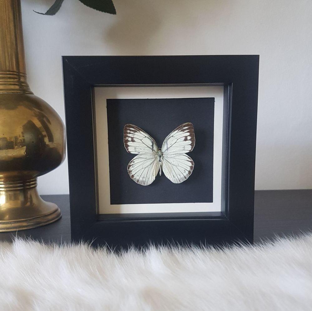 Cepora Nerissa - Common Gull Butterfly