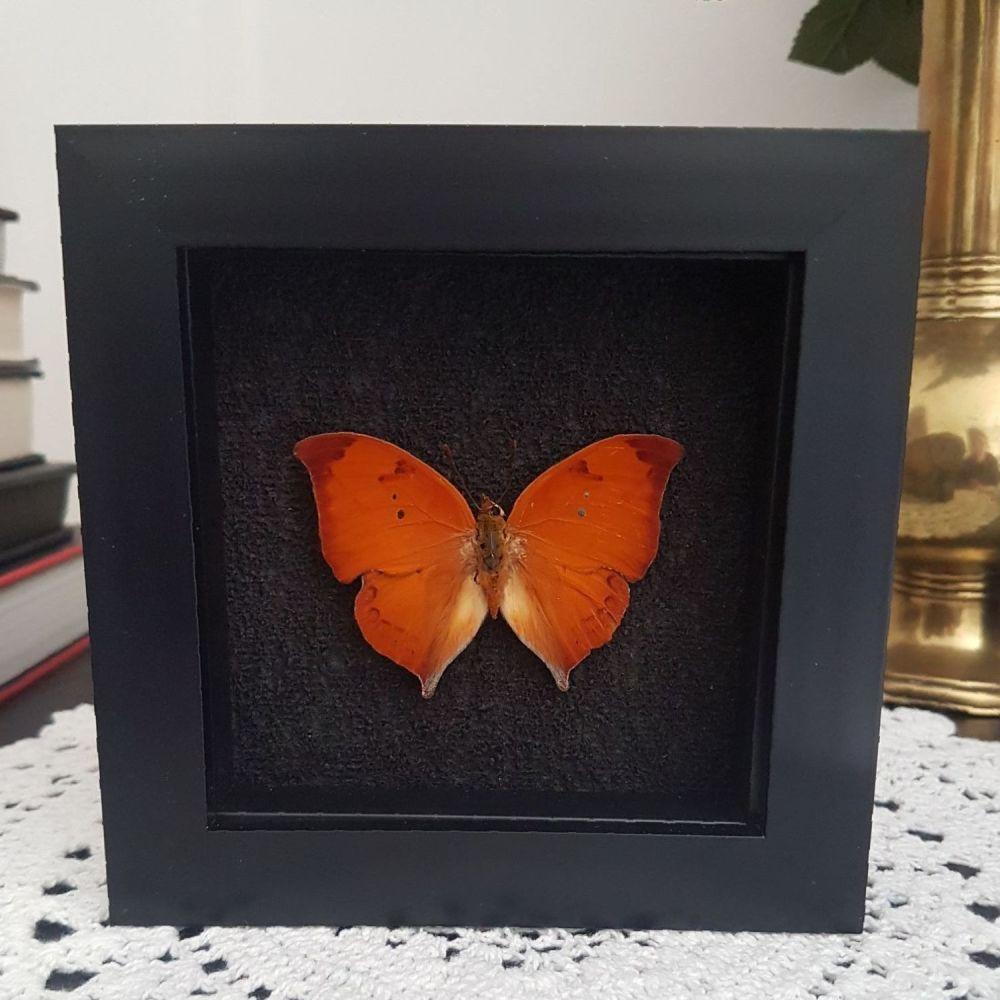 Skeletonized Leafwing Butterfly - Zaretis Itys