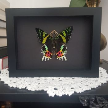 Urania Ripheus - Madagascan Sunset Moth