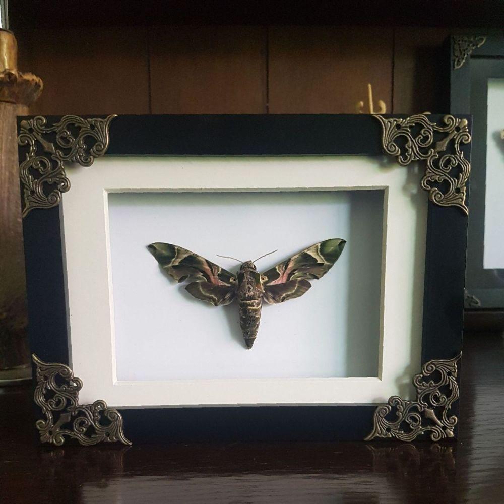 Daphnis Nerii - Oleander Hawk Moth