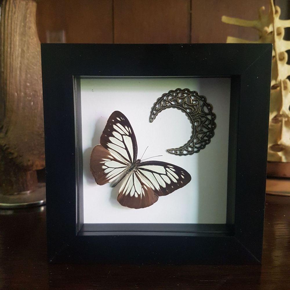 Pareronia Boebera - Pierine Butterfly