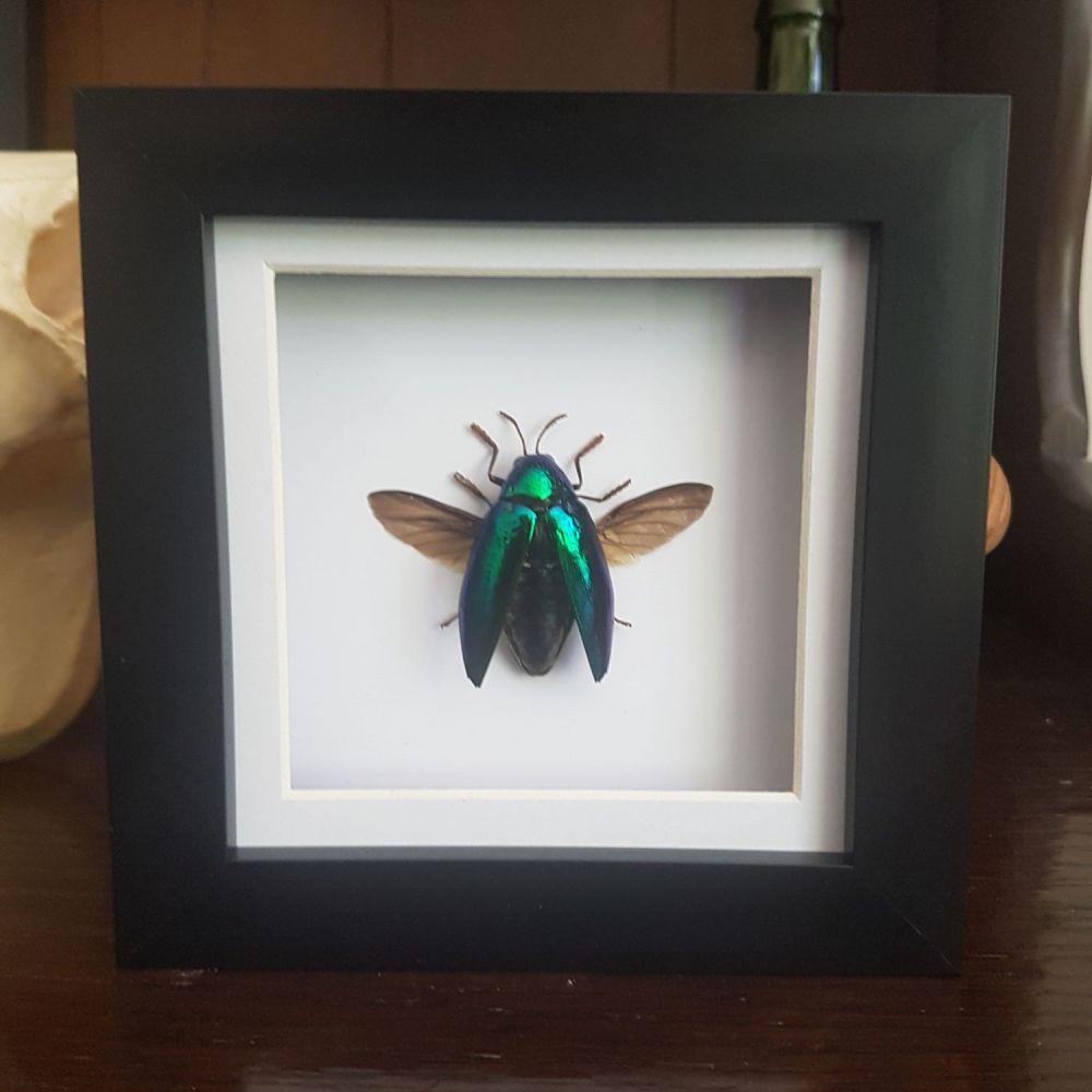 Sternocera Ruficornis - Jewel Beetle