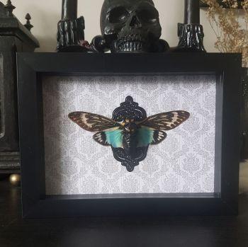 Tosena Splendida - Blue Winged Cicada