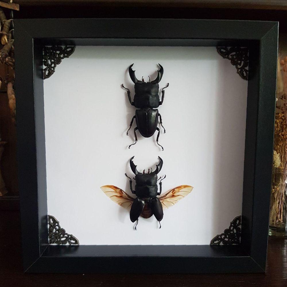Dorcus Titanus Typhon -  Two Black Giant Stag Beetles