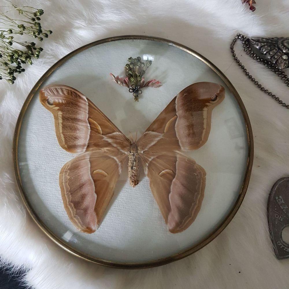 Samia Insularis - Giant Silk Moth