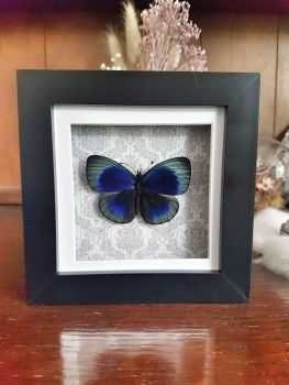 Asterope Leprieuri - Leprieur's Glory Butterfly