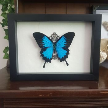 Papilio Ulysses - Blue Mountain Swallowtail Butterfly