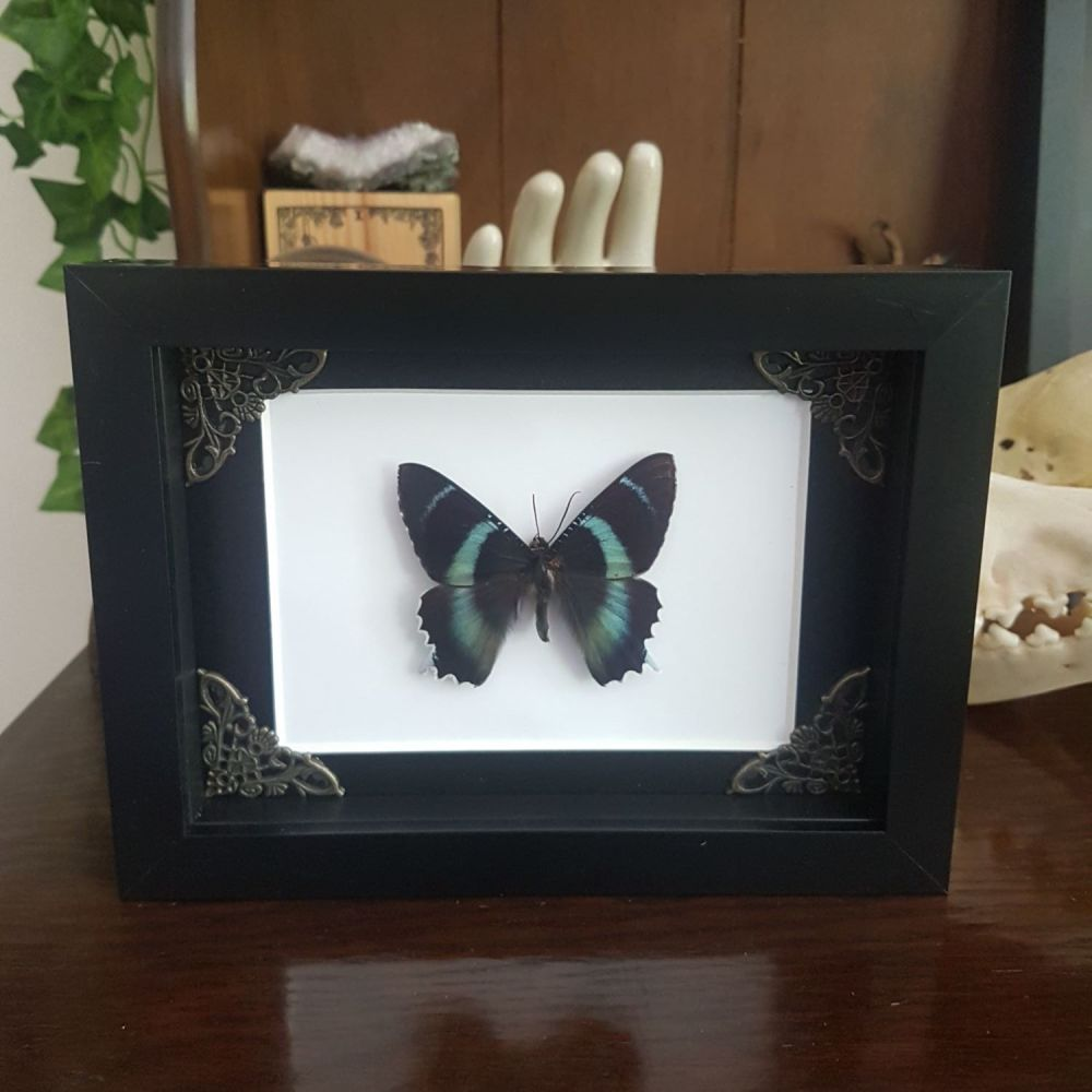 Alcides Agathyrsus - Indonesian Day Flying Moth