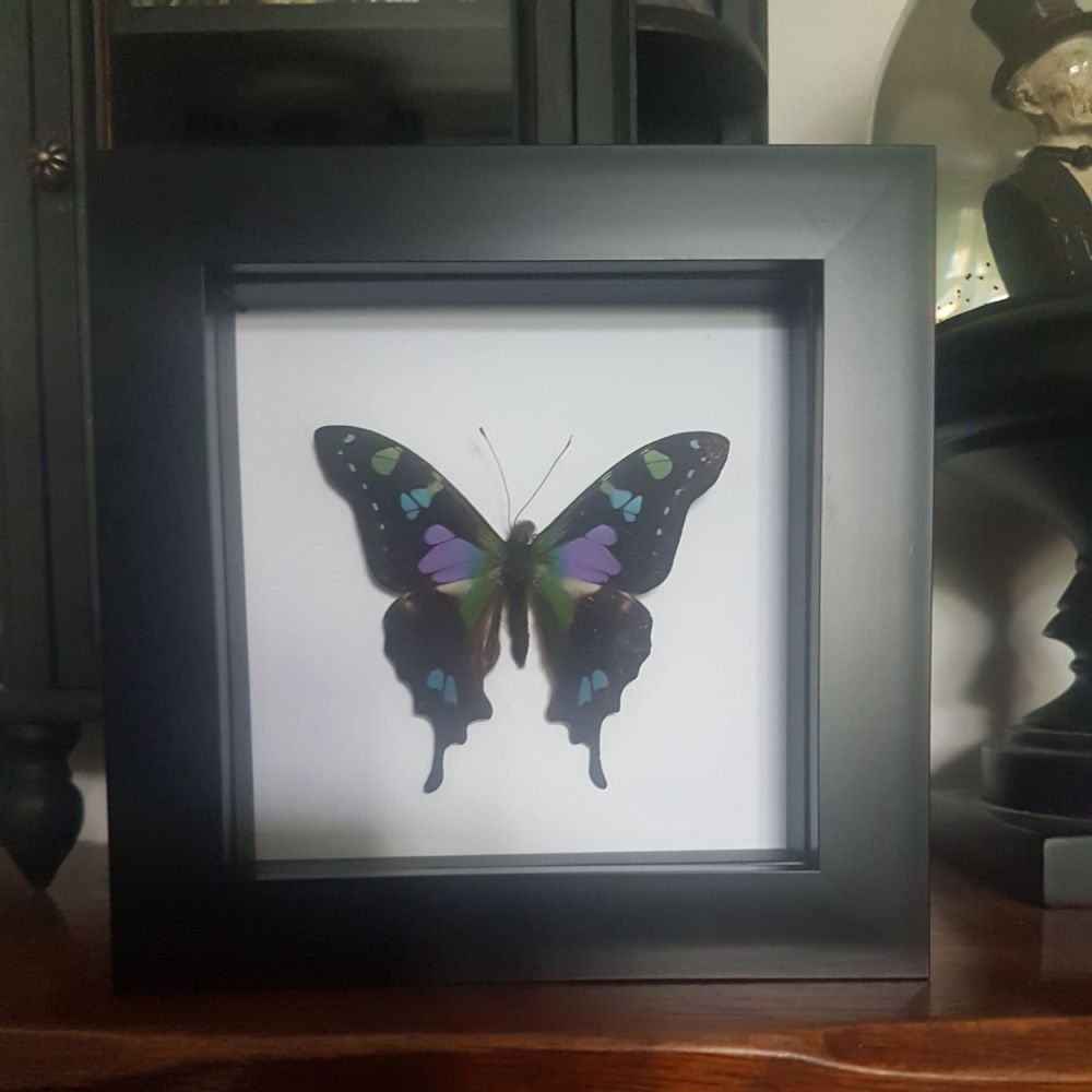 Graphium Weiskei - Purple Spotted Swallowtail Butterfly