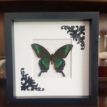 Papilio Maackii - Alpine Black Swallowtail Butterfly