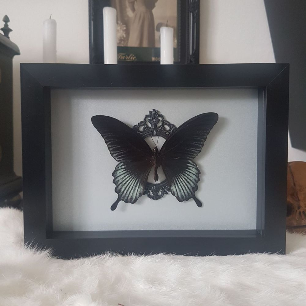 Papilio Lowi - Asian Swallowtail Butterfly