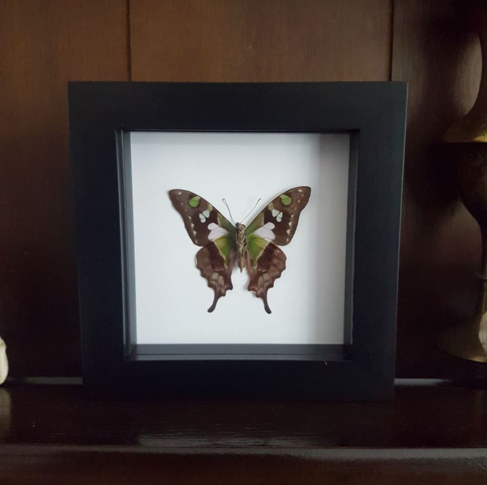 Graphium Weiskei (Reverse Side) - Purple Spotted Swallowtail Butterfly