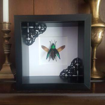 Cyphogastra Calepyga - Jewel Beetle