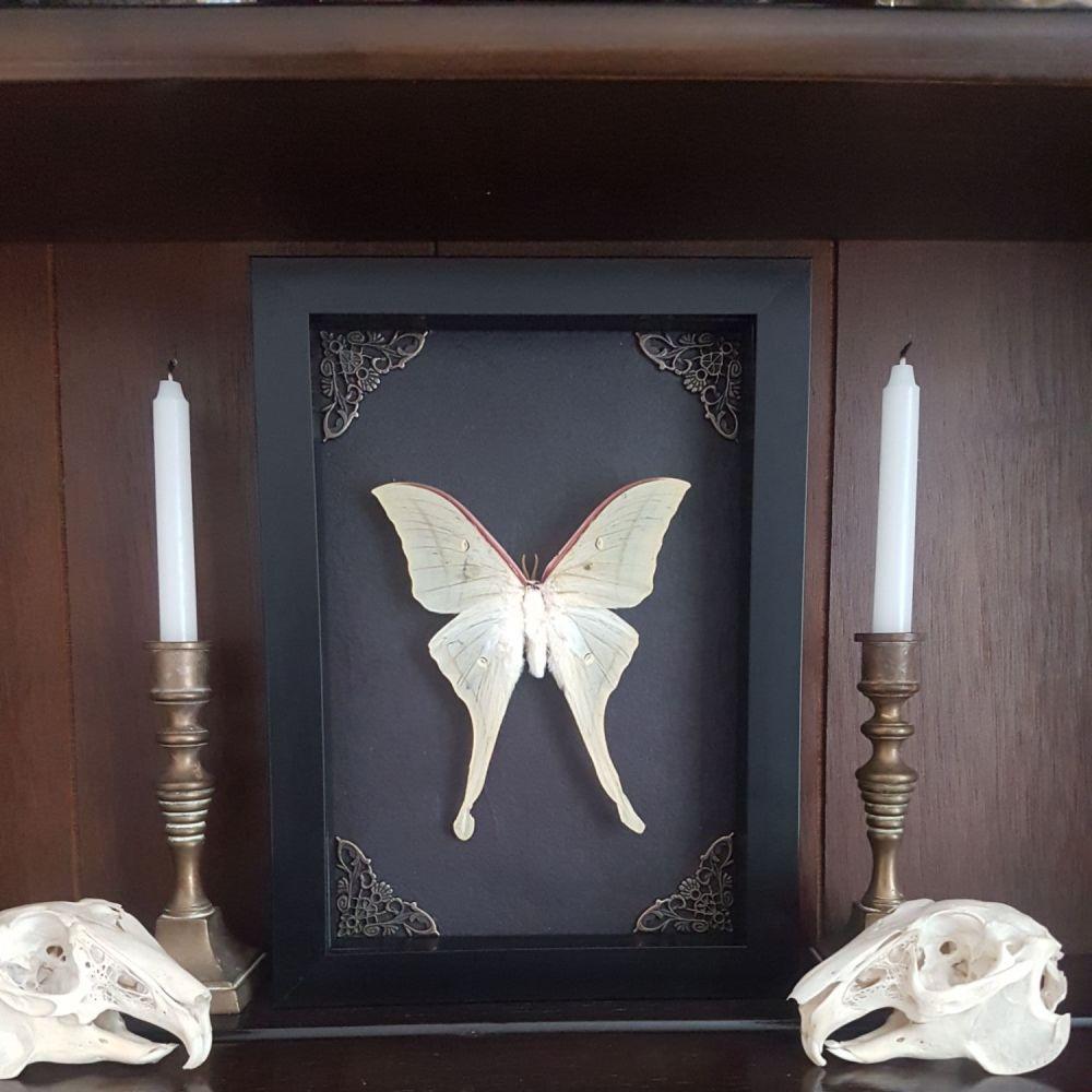 Actias Selene - Indian Luna Moth