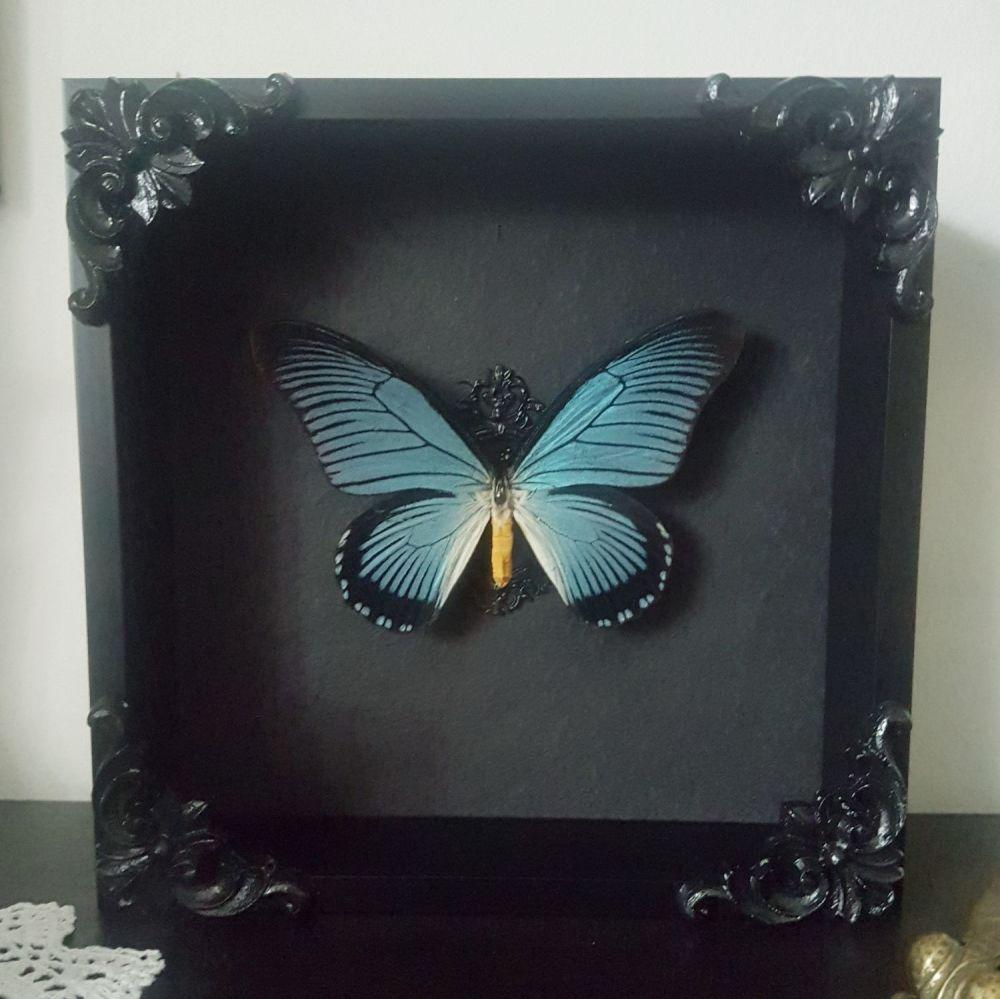 Papilio Zalmoxis - Giant Blue Swallowtail