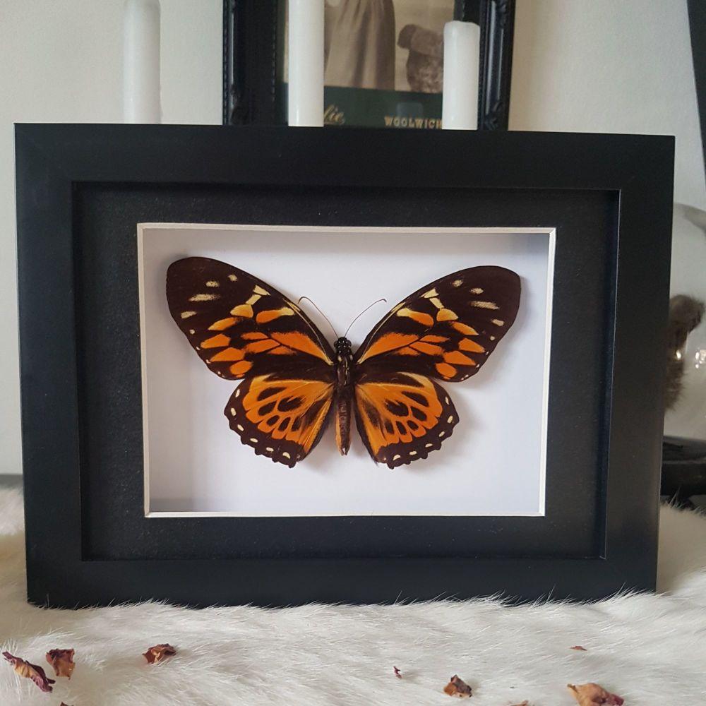 Papilio Zagreus - Orange Mimic-Swallowtail Butterfly