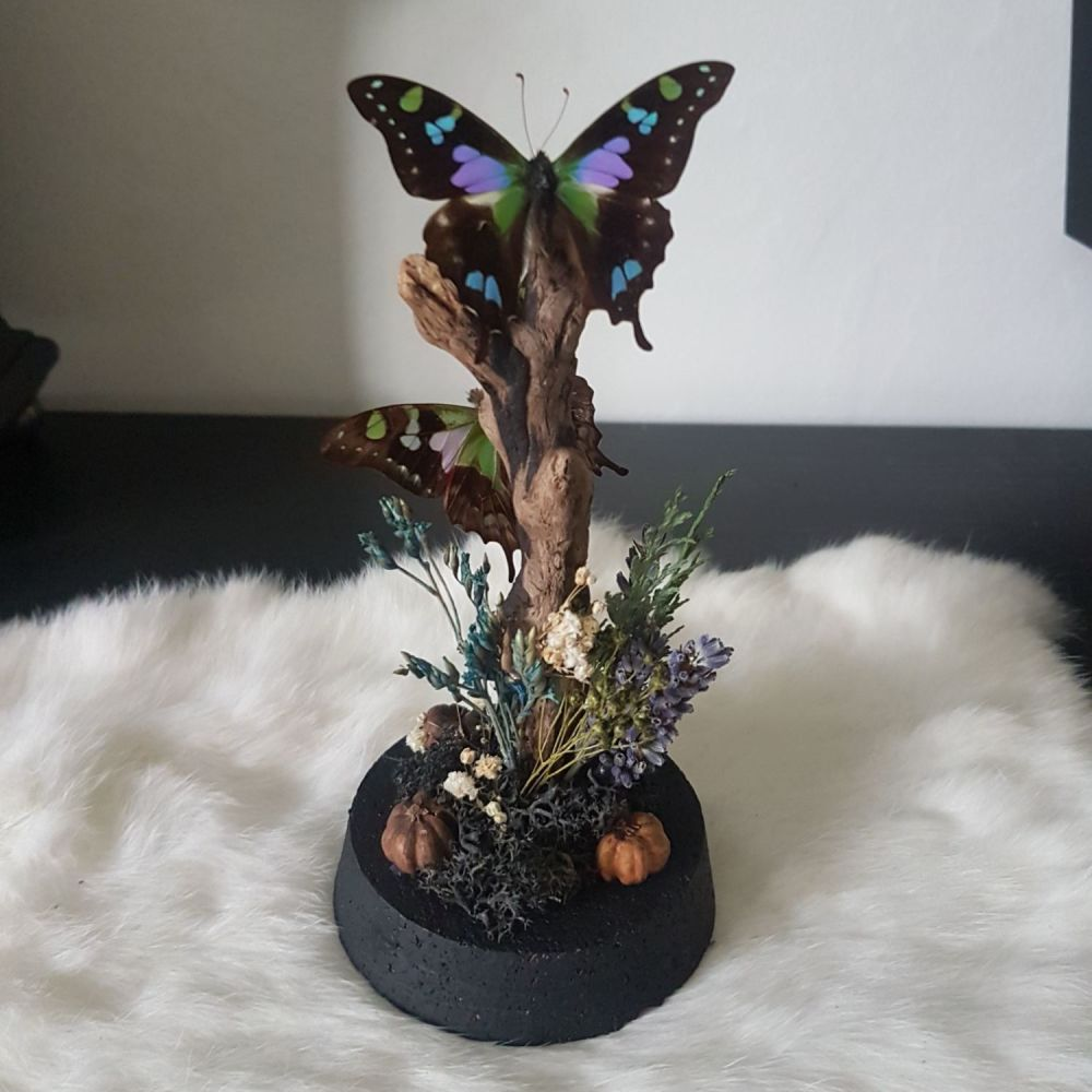 Purple Spotted Swallowtail Dome (Graphium Weiskei)