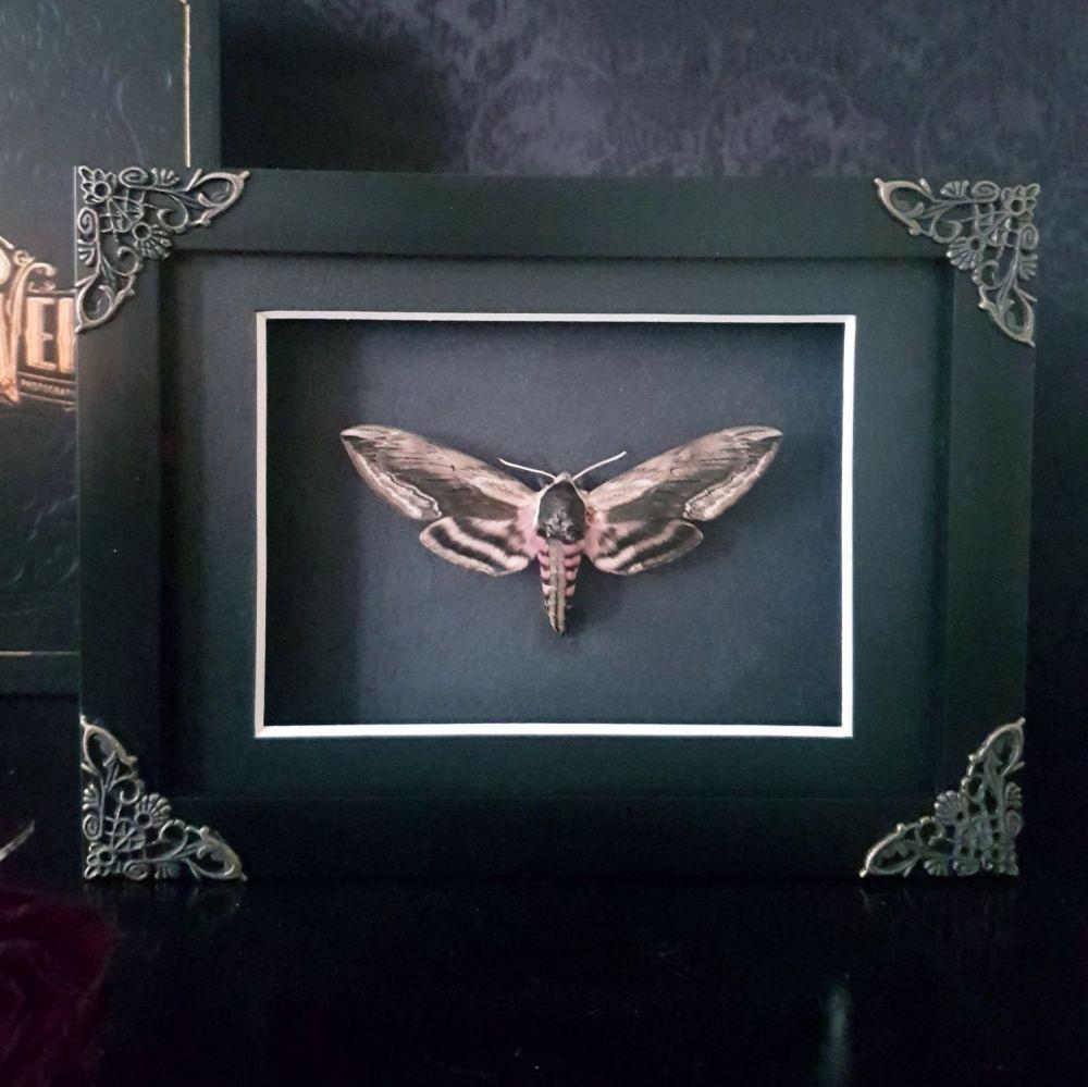 Sphinx Ligustri - Privet Hawk Moth