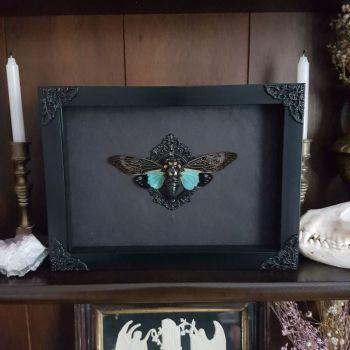 Distantalna Tosena Splendida - Blue Wing Cicada