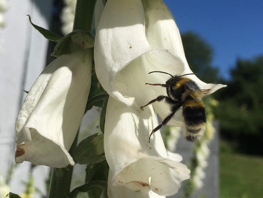Bumble bee visiting Digitalis