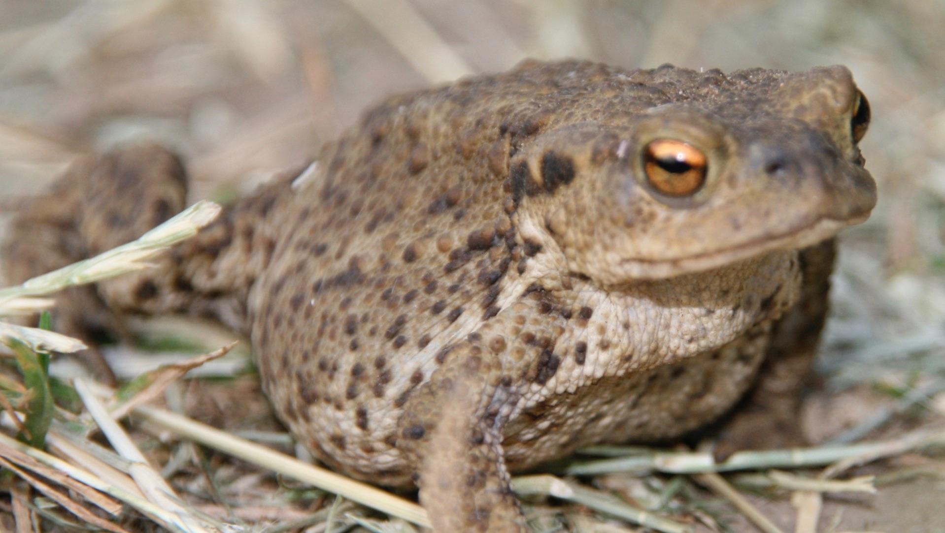 Toad (Bufo bufo)