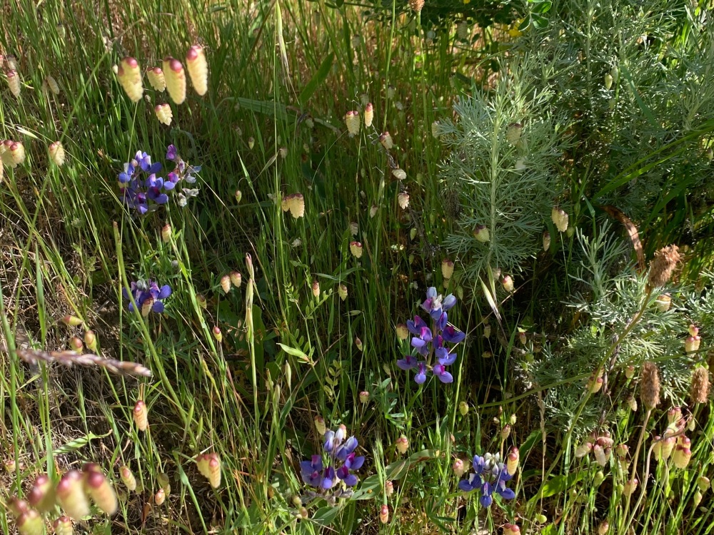 Lupinus among the quaking grass (Briza maxima) with Artemesia