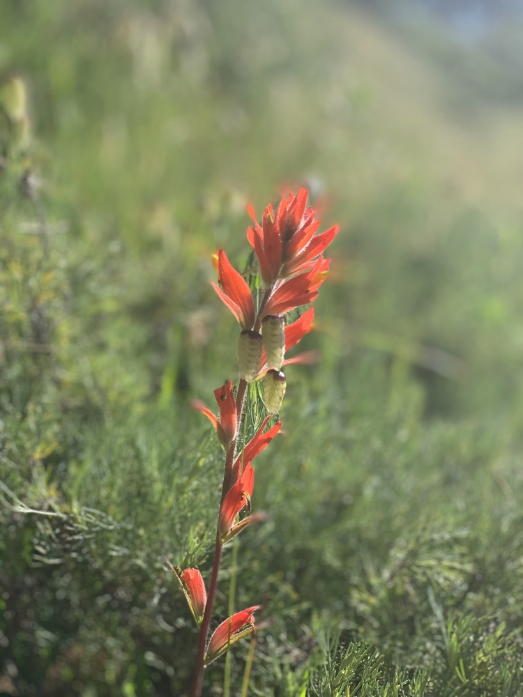 Possibly scarlet paintbrush