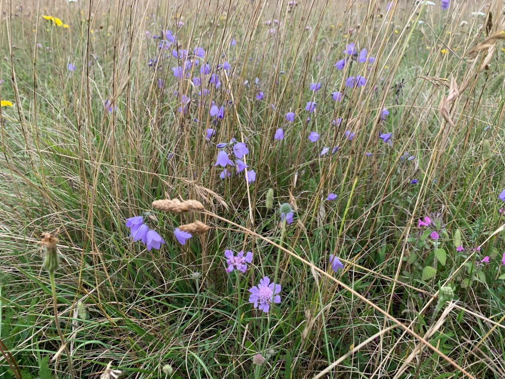 Scabious and hare bells in the Chilterns