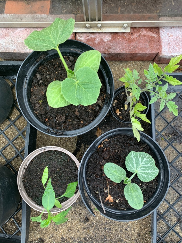 Vegetable seedlings