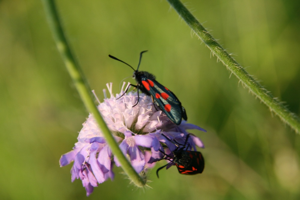 Five spot Burnett moth