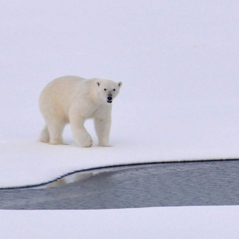 Polar bear on snow near water