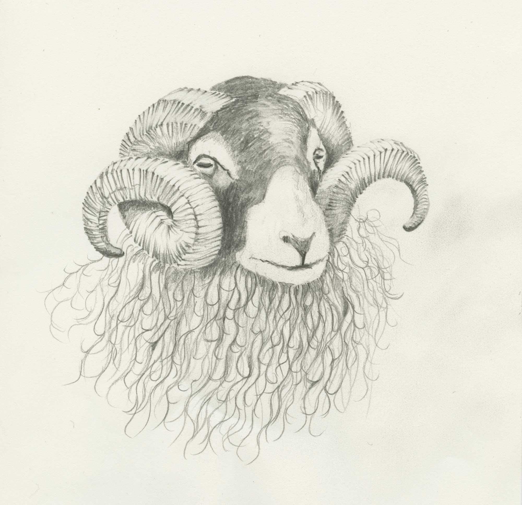 015 Bighorns Swaledale Ram