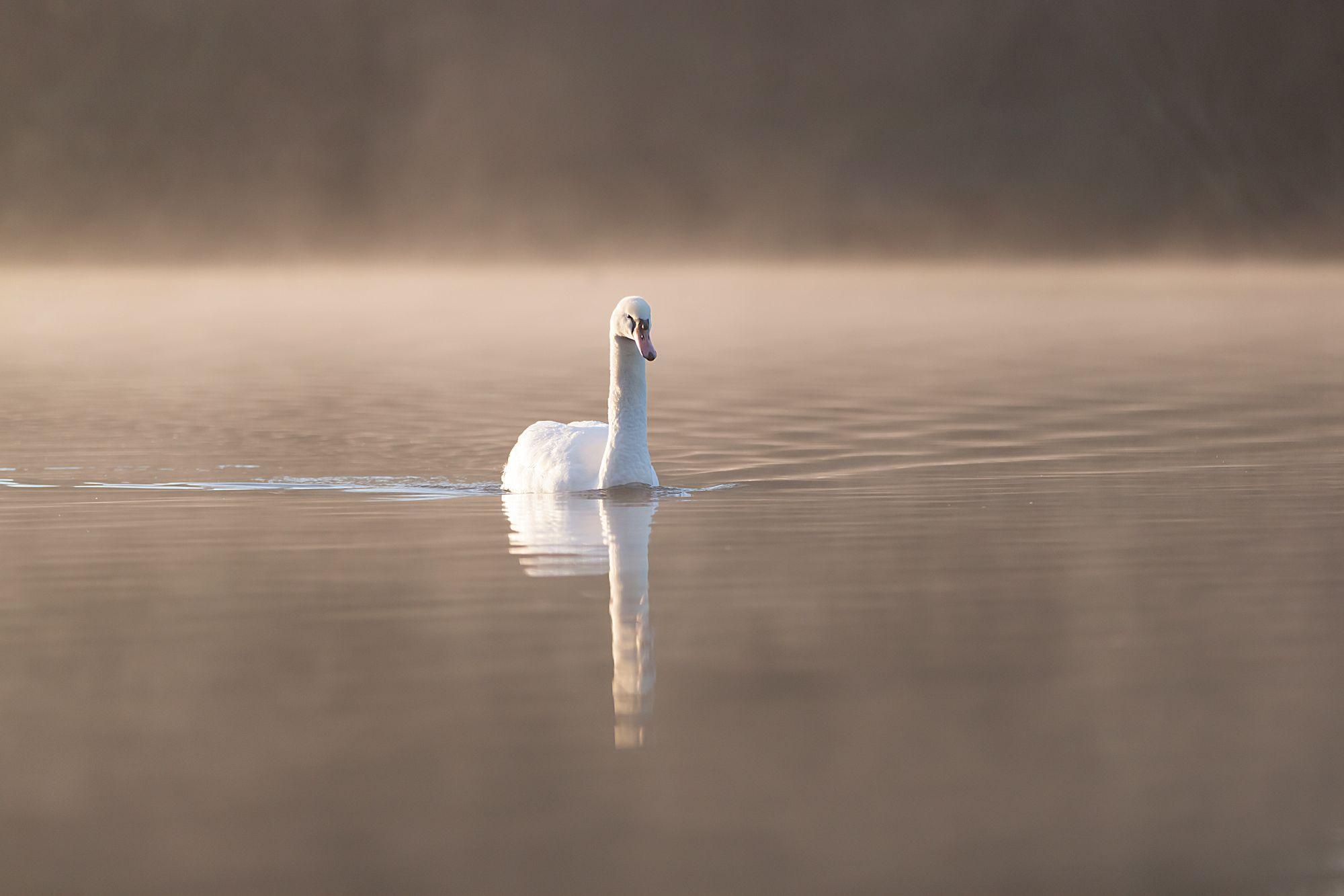 A single swan floating across still water