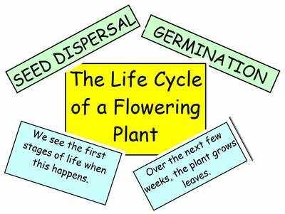 The Life Cycle of a Flowering Plant Interactive Display