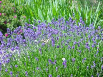Lavender bed - wide