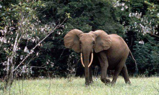 forest-elephant1-537x322