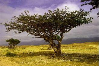 single frank tree