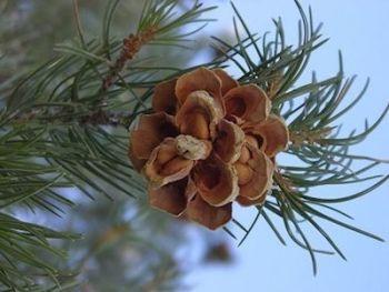 pinyon-pine-cone---