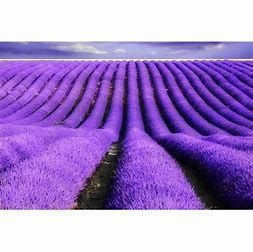 field of lavendar
