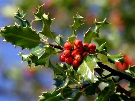 holly berries plant