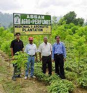 Oudh Plantation