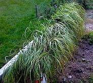 sweetgrass plant