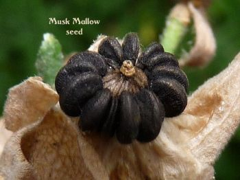musk-mallow-seed