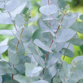 Simply Eucalyptus