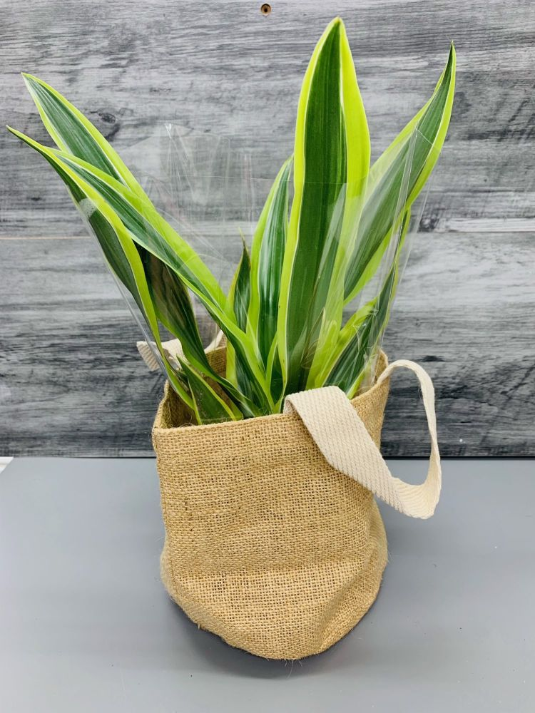 Corn Plant (Dracaena Fragrans )