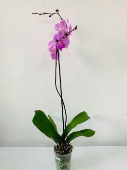 Phalaenopsis Blume (Moth Orchid)