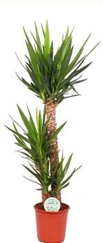 Yucca  125cm