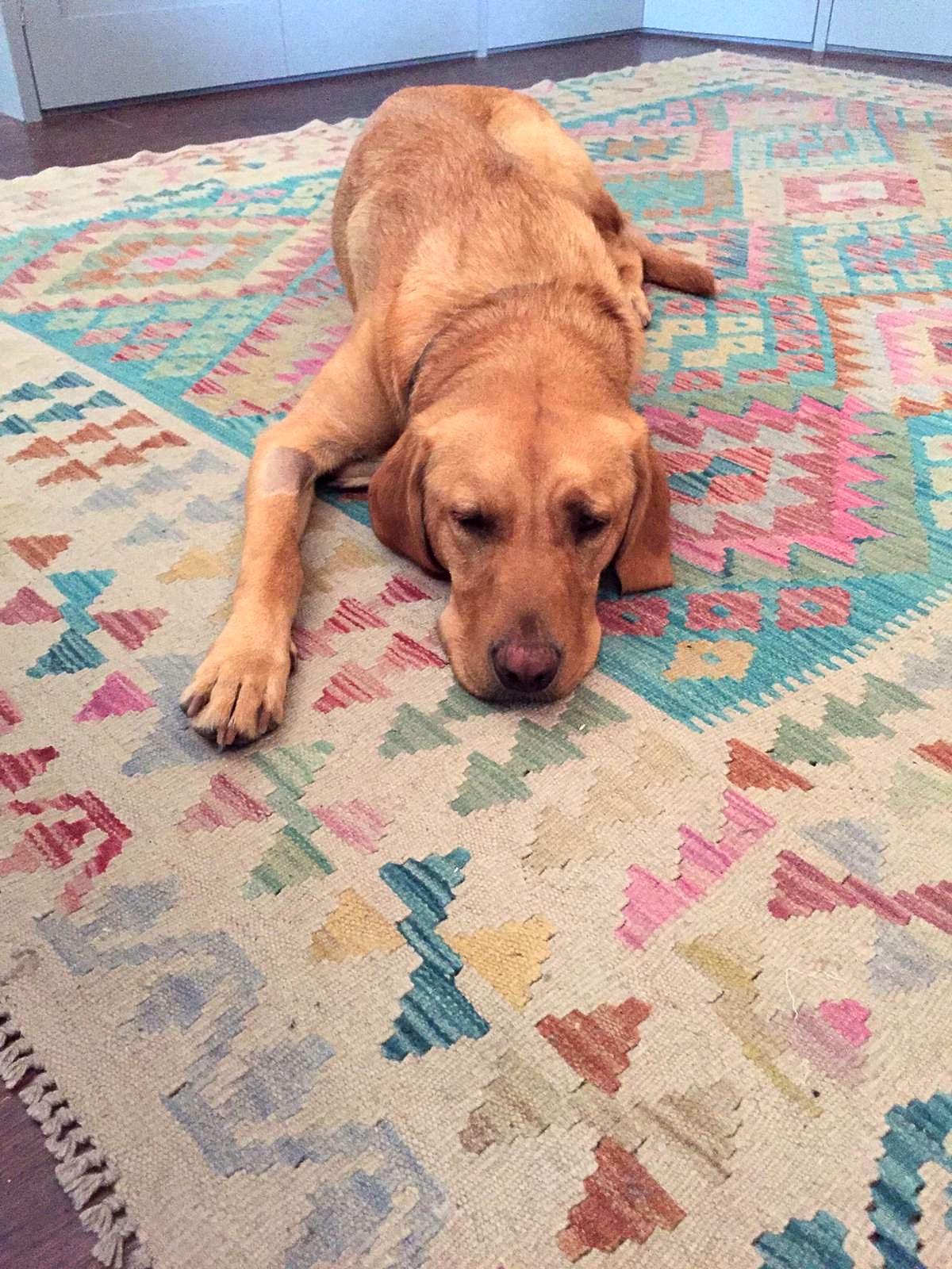 Kilim rugs, Interior rugs 2021,fox red lab,