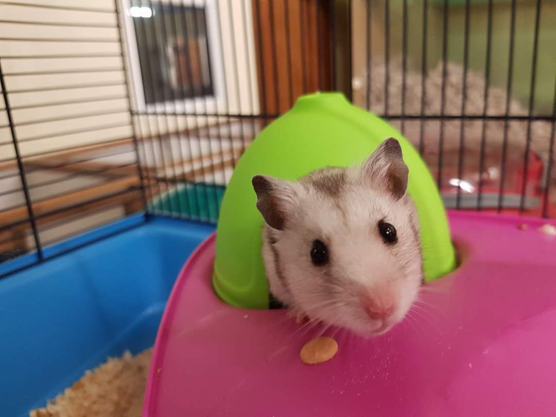 Rat boarding in Staffordshire