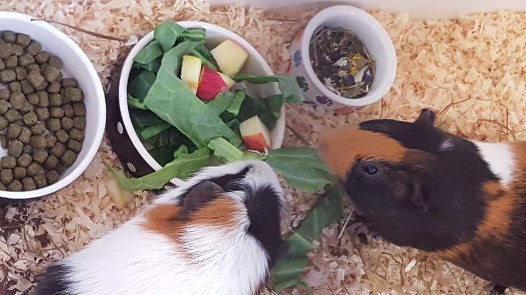 Guinea pigs enjoying lunch at Kingstone Pet Boarding